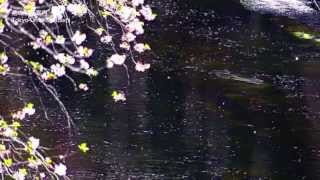 Gambar cover SAKURA NAGASHI 桜流し - 宇多田ヒカル (Quiet Version) - (Sam Yung ft. YABISI)
