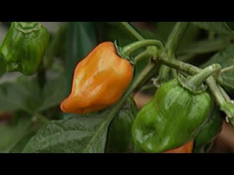 Eating chili peppers may cut risk of heart attack, stroke