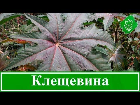 ☘️ Растение клещевина – посадка и уход, выращивание клещевины из семян; клещевина обыкновенная