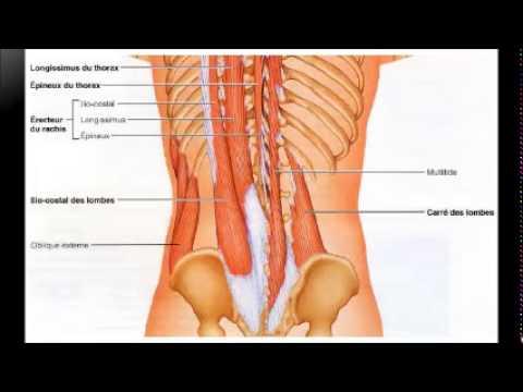 Lanatomie le muscle adducteur