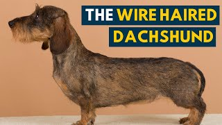 Wire Haired Dachshund: Your Guide To This Rugged Hound Dog!