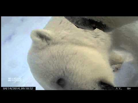 First Ever Point-of-view Video Recorded By A Wild Polar Bear Is So Cute