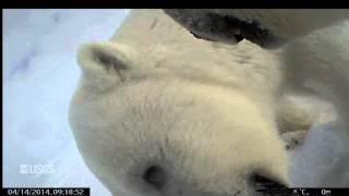 Polar Bear - POV Cams (Spring 2014)
