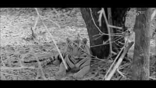 Endangered Bengal Tigers