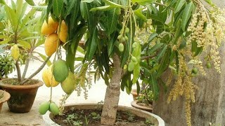 Mango Double Grafting | Double Roots Grafting Techique