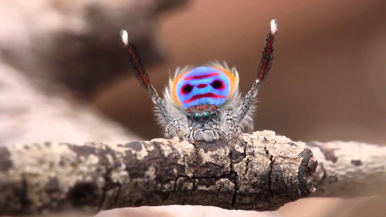 Пятна пауков-павлинов практически не отражают света. Почему?