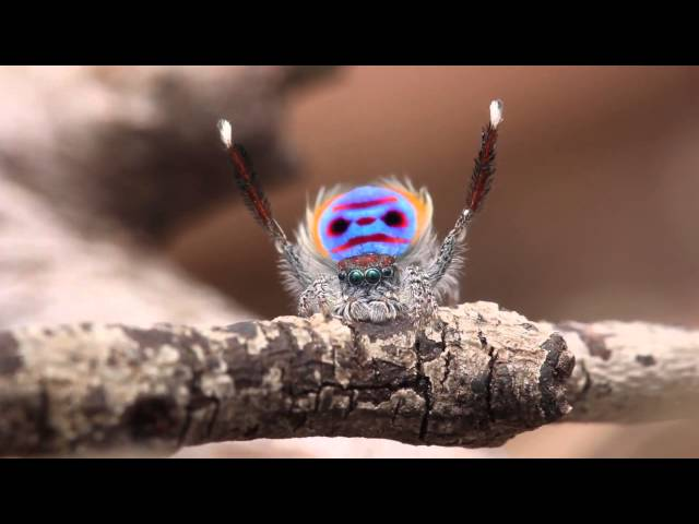 Peacock Spider Dances to YMCA