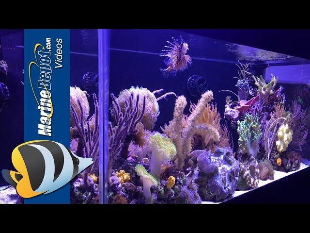 Marine Depot Featured Tank: Felicia's 40 Gallon Mixed Reef Predator Tank