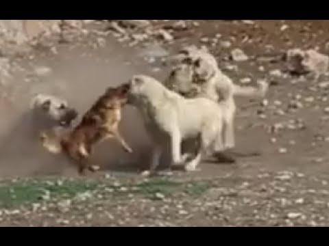 Little Dog Rescues Its Friend Kangal - LOL!!!