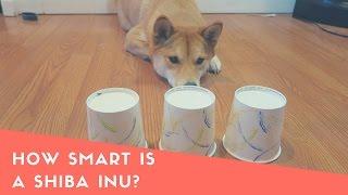 How Smart Is A Shiba Inu Dog? Intelligence Test!