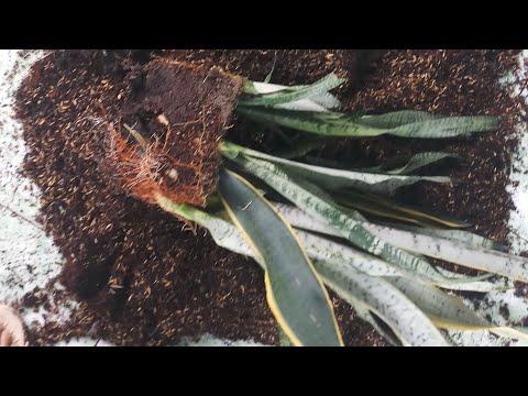Nhân giống cây lưỡi hổ bằng phương pháp giâm cành (Propagating snake plants from cutting)