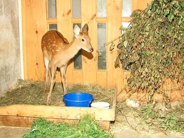 Олененок и беркут попали в ангарский зоопарк