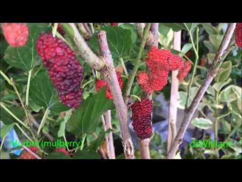 Video Murbei (mulberry) & manfaatnya
