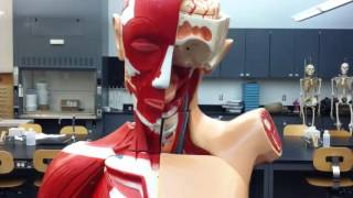 Respiratory Anatomy in the lab