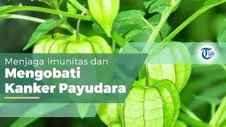 Ciplukan atau Physalis Angulata L , Tanaman Liar yang Biasa Ditemukan di Kebun Hingga Persawahan