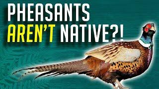 Pheasants Aren't Native!