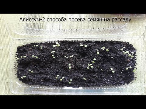 Алиссум 2 способа посева семян на рассаду