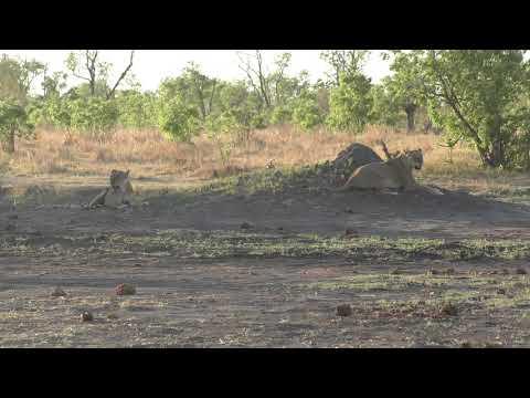 16102019 'Hwange NP Big Tom two lioness sitting