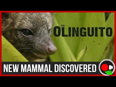 Scientists Discover A New Mammal - The Olinguito
