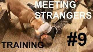 3 pit bulls training to greet greeting people attack little kid pitbull train puppy pup