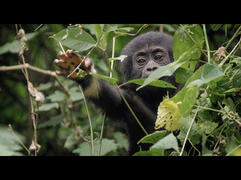 Baby Gorilla Survives a Fall | Animal Babies: First Year On Earth | BBC Earth