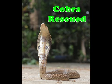 small baby cobra rescued from residential complex of  'mayflower garden.