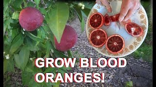 Growing Moro Blood ORANGE Tree & Citrus & Seeds Red Juice Fruit