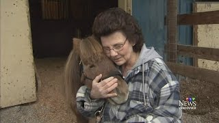 Tiny therapy horse recovering from cougar mauling