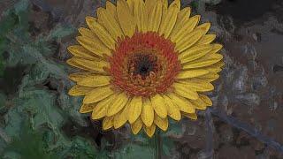 Cultivo De Gerbera (Floricultura) - Sembrando Un País