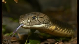 KING COBRA ON THE LOOSE IN FLORIDA