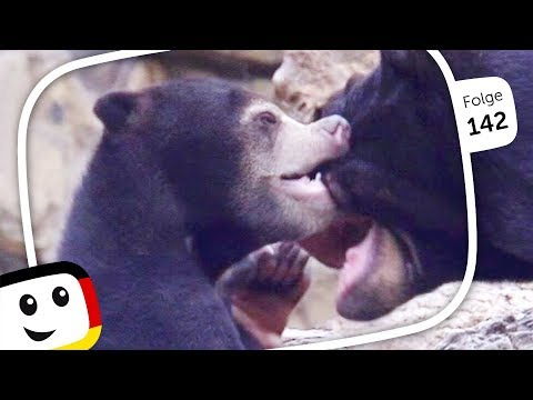 "Sandmännchen: Zootierbabys ""Ernst, der Malaienbär"" ⭐ Folge 142 ⭐ Sandmann (rbb media) 2019"