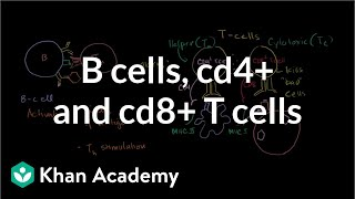 Review of B cells,  CD4+ T cells and CD8+ T cells