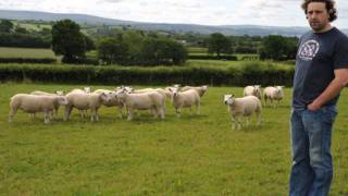 preview picture of video 'Teilo Texel sheep, Texels from South Wales.'