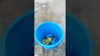 Cara Menjinakkan Burung Kepodang Liar Dengan Waktu Cepat!!!!