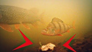 Мощная приманка для мирной рыбы осенью + подводная съемка