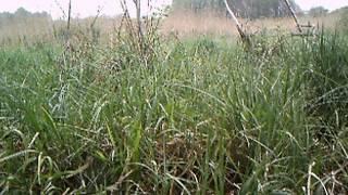 Jenot w rezerwacie przyrody Bagno Głusza