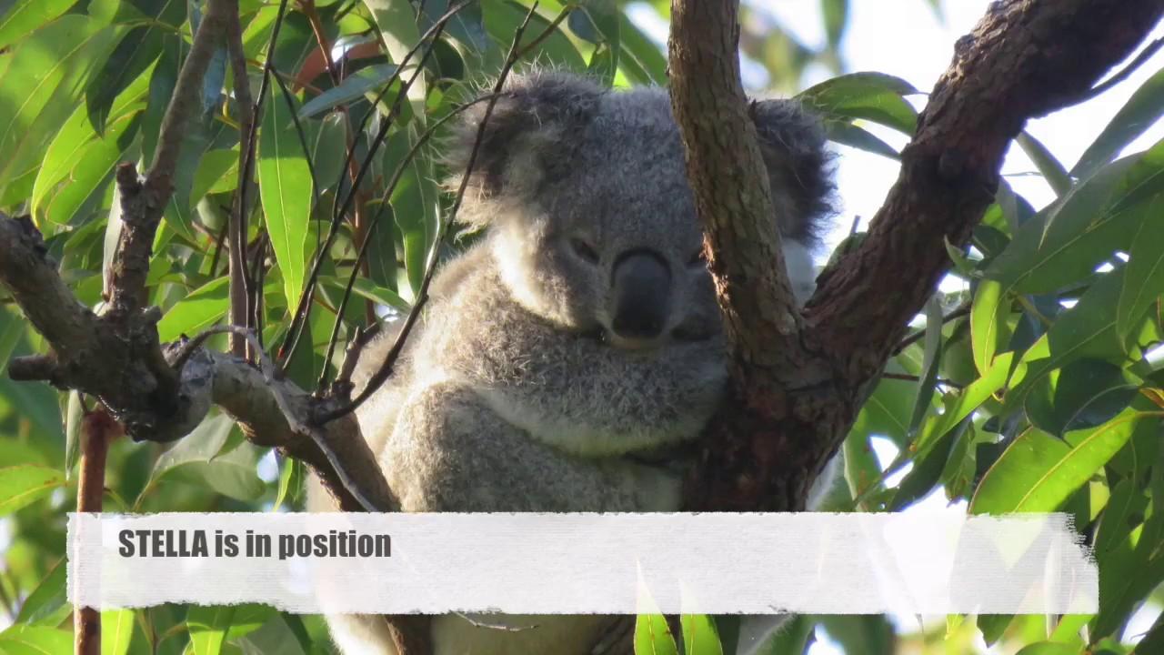 Wild Koala Day 2018