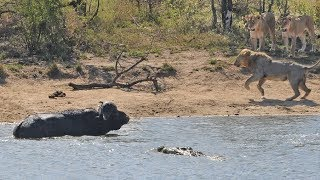Over a decade ago, there was an epic battle between lions, buffaloes and a crocodile at a waterhole called Transport dam. That video was aptly named Battle at Kruger. Well, 10 years later, the next generations of lions at Transport Dam recently faced their own failed hunt due to a huge herd of buffalo and crocodiles interfering!  Thuli Khumalo, head of Atamela Tours, captured this heart-pumping sighting while on a tour to the Kruger National Park.  After lunch at Skukuza Rest Camp, Atamela's game drive full of tourists arrived at the world-famous Transport Dam, in the hopes of seeing some action. Little did they know what they were actually in for.   They spotted a pride of lions lying in the shade, overlooking the water.  If you spot lions hiding in the shade at a waterhole, it is often a good idea to stick around. Lions are opportunistic, so they will often try and hunt any animal that comes close enough.  Surely enough, a large herd of impala went down to the water and the lions gave chase! The impalas were too fast for the lions, but at the edge of the water, they spotted an old buffalo bull.  The lions chased that buffalo and it ran into the water where out of nowhere, a crocodile starts taking a go at the already targeted buffalo.  The buffalo decides that the water is probably more dangerous than on land, where it can potentially outrun the pride of lions that are now waiting for him to re-emerge from the water.  As soon as the buffalo hit the surface, he makes a run for it, with the lions following close on its tail.  When buffaloes are under threat, they will call for help. Luckily, for this buffalo, his calls were answered!  A massive herd of buffalo that was on its way to the dam saw the commotion and chased the lions away, saving the life of fellow buffalo, unbeknown to us if it is from the same herd.     BOOK YOUR TRIP TO KRUGER: http://bit.ly/BookatKruger  Send in your wildlife video here, and earn money: https://www.latestsightings.com/partnership  To