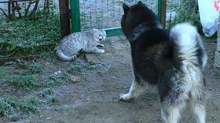 Сибирский Хаски и Злобный Котейка