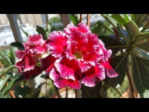 Летнее цветение адениумов Magic Moment и Magnificent