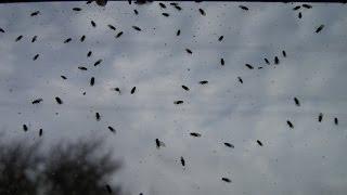 Vinske mušice v stanovanju