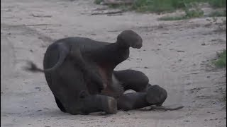 SafariLive Jan 11 - Cuteness overload...a tired baby Elephant!