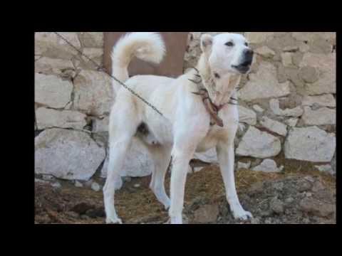 Verschiedene Hunde bellen Hund Sound von 15 verschiedenen