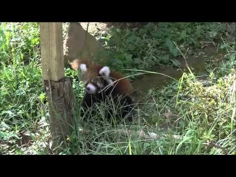 Il piccolo panda a caccia di farfalle