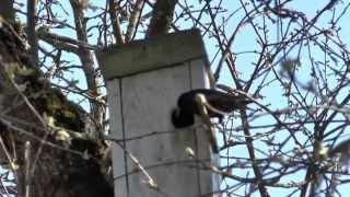 Скворец вселяется в скворечник _ A starling moved in the nest box
