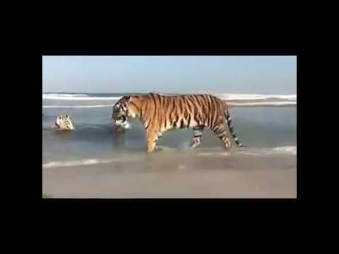 Five Tigers on a beach in Dubai