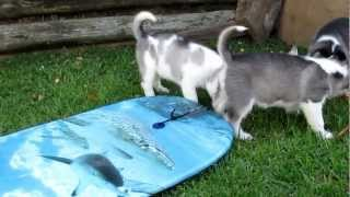 preview picture of video '6 Siberian Husky Pups (Sled dogs) on Boogie Board ;-)'