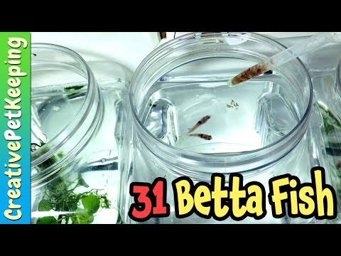 Feeding all my Betta Fish | 31 fish!