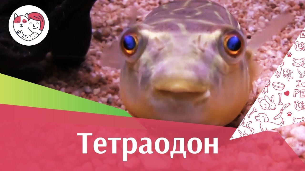 Тетраодон АкваЛого на ilikePet