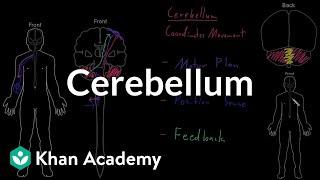 Cerebellum | Organ Systems | MCAT | Khan Academy
